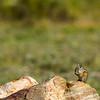 Uinta Chipmunk Neotamias umbrinus montanus
