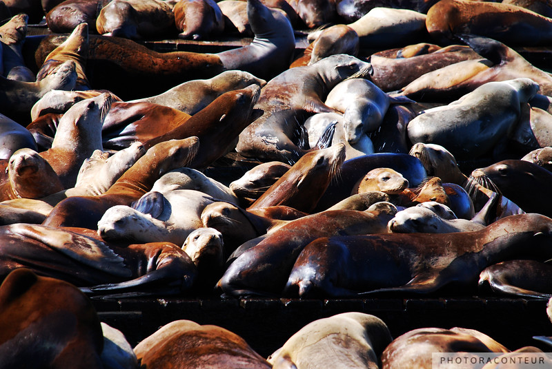 """Band of Sea Lions"" ~ A small band of sea lions made their home on Pier 39 just after the Loma Prieta earthquake in 1989.  In the Fall of 2009 the population ballooned to a record high of nearly 1600 sea lions."