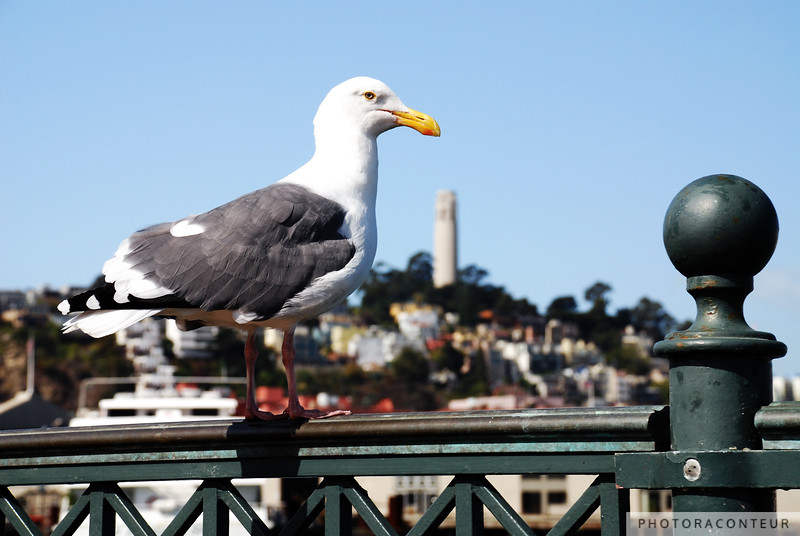 """Sea Gull over Coit Tower"" ~ A sea gull rests on the railing at Pier 7 with Coit Tower under its beak."