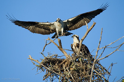 _Q108774  Osprey at Sanibel Island, Florida