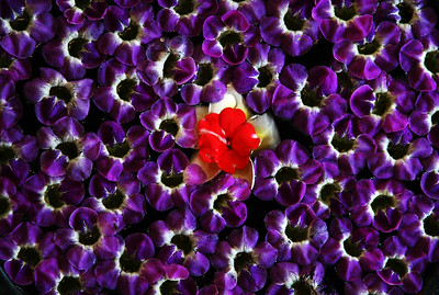 red flower swimming in a sea or purple
