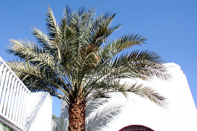 Courtyard palm tree - Masjid Qiblatayn, Medinah