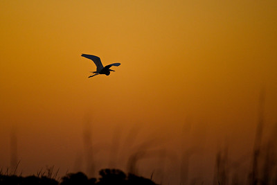 Egret, Sunset, Tybee Island, Georgia