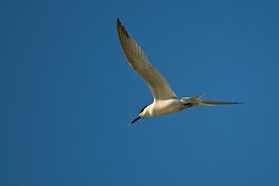 Sandwich Tern, Tybee Island, Georgia