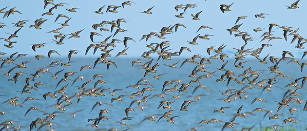 Dunlins, Hilton Head Island, South Carolina