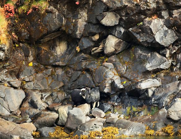 Goats are on the cliffs. They eat their way to the shoreline as it gets colder.  They will eat the seaweed on the rocks.
