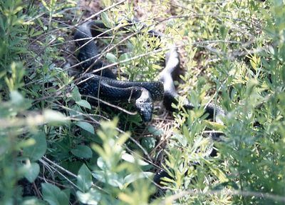 Black Snake, 1992, Taken with Canon T70, Kodak film, Scanned from print