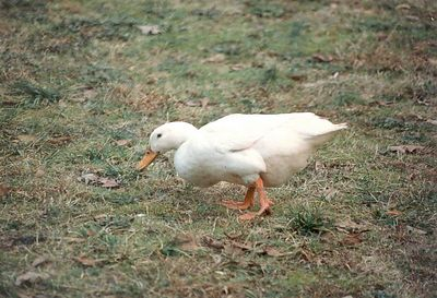 Duck, May of 1994, Taken with Canon T70, Kodak film, Scanned from print