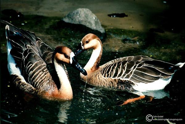 Swan Geese, Anser cygnoides: Central Park Zoo, NY, NY.