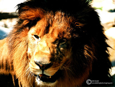 Male African lion, Panthera leo. Ross Park Zoo, Binghamton, NY. 2000.