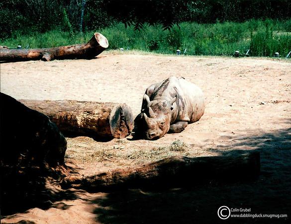 Resting rhino.  A male Black Rhino,Diceros bicornis, rests in the morning sun: Zoo Atlanta.