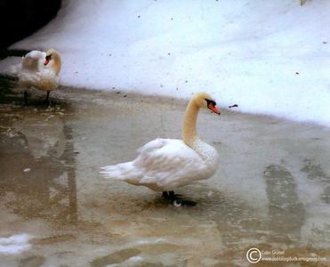 Mute swans, Cygnus olor, in winter. Ross Park Zoo, Binghamton, NY 2000