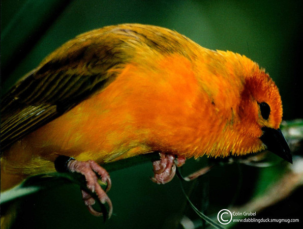 Golden Weaver bird (not sure which species), Central Park Zoo, NY, NY.