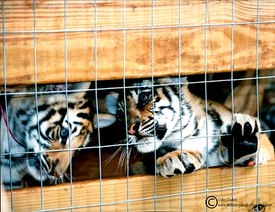 rescued tiger cubs, Panthera tigris, feeling playful: Tiger Haven, TN. Tiger Haven is a wonderful nonprofit sanctuary and rescue center for large cats in need of homes - former pets, rescues from the drug trade, etc.  The backgrounds of many of their residents are horrible but TH gives them a good home.  Please consider supporting them: http://www.tigerhaven.org/