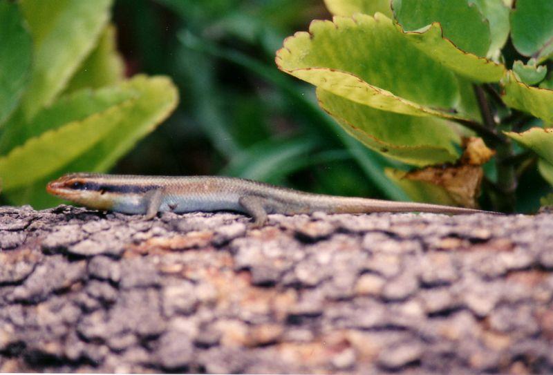 Xugana - chameleon