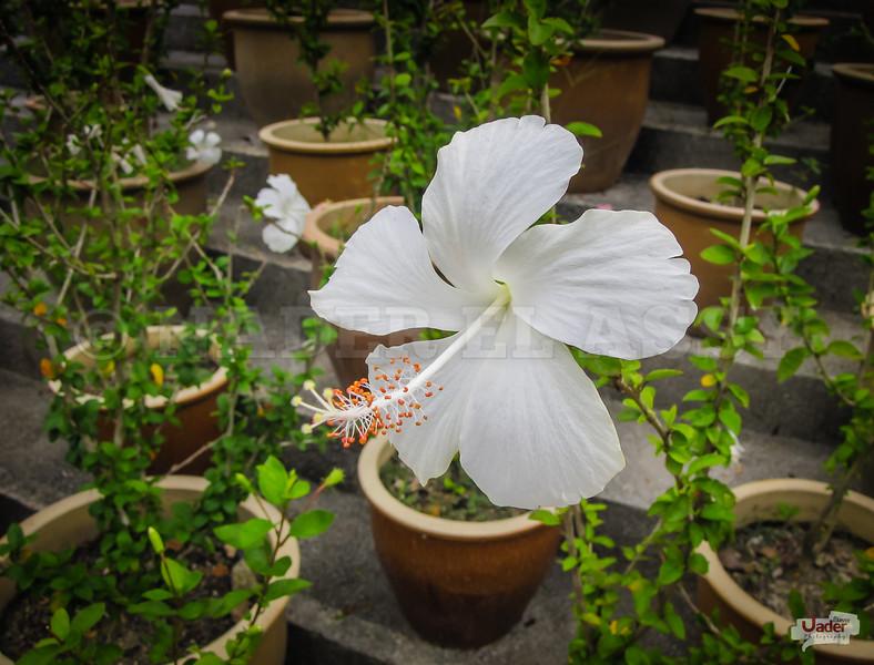 The White Hibiscus.
