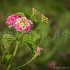 The Lantana Flower Cluster.