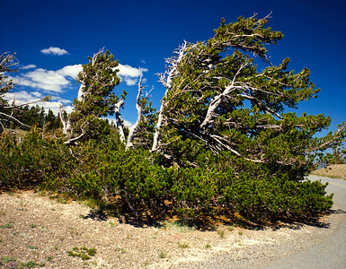 Nobody, North America, USA, Oregon, Bristlecone Pine in  Crater Lake National Park