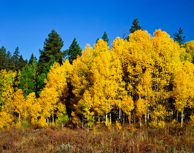 Nobody, North America, USA, Colorado, Rocky Mountain National Park, Aspens in Fall yellow
