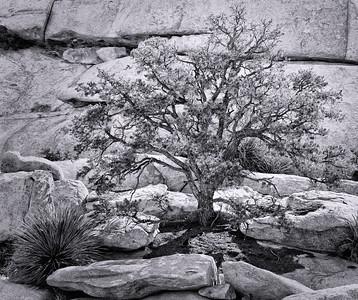 """Cottonwood Tree #1"""