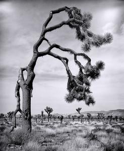 """Joshua Tree #13"""