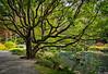 """""""Chinese Fringe Tree"""""""