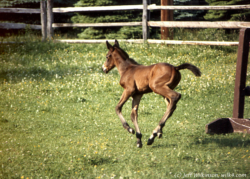 Susan's horse Stormy, ~2 days old<br /> This is a scan from my film days,so apologies for the quality.<br /> That said, it's one of my favorite shots that I've ever taken.