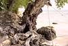 A fascinating old tree along the water at Treasure Beach, Jamaica<br /> (taken in '93, scanned from film)