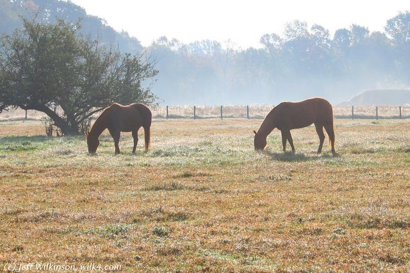 #7109 horses grazing in a misty morning field