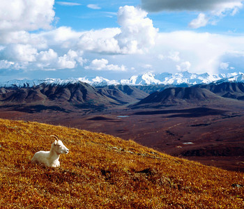 Dall Sheep resting in fall color on Primrose Ridge in Denali National Park, with Alaska Range in background