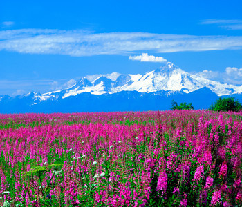 Mt Illiamna, Aleutian Range, Alaska from the Kenai Penninsula across a field of blooming Fireweed and Cook Inlet