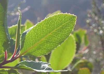 Nature_BacklitLeaves3