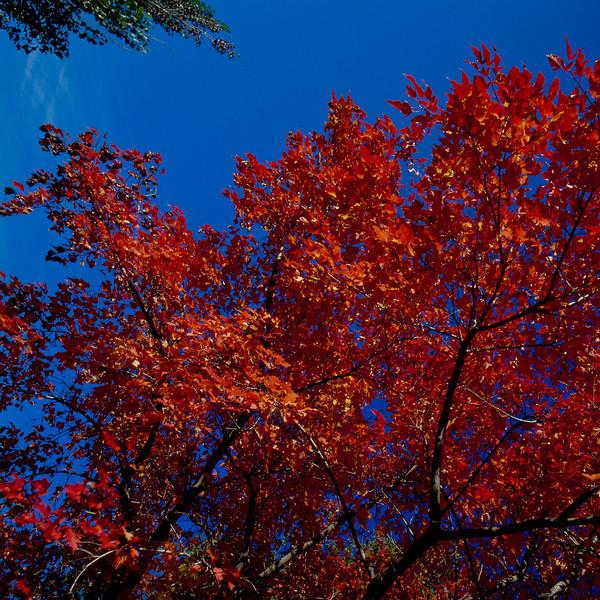 North America, USA, Minnesota, Oak Tree in Red Fall Color