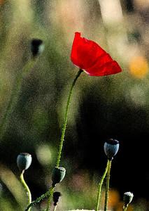 Opium Poppy - Pt. Loma