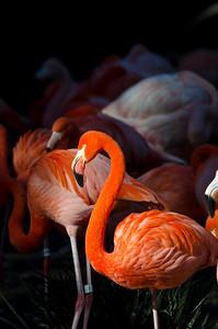 Flamingo (zoo bird)