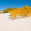 North America, USA, New Mexico, White Sands National Monument, Dune Life Nature Trail, Fall color in the Parabolic Dunes