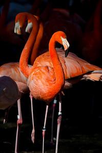 Flamingo 2 (zoo bird)
