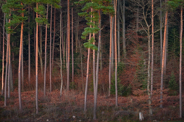 Baslerholz
