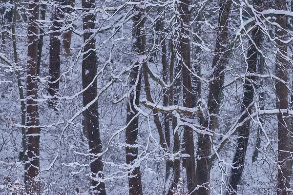 Where Snow-Clad Trees Mourn