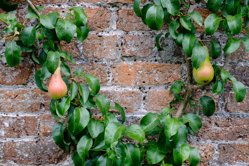 Espaliered Pears, Mount Stuart Kitchen Garden, Isle of Bute, Scotland