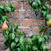 Espaliered Pears, Mount Stuart Kitchen Garden, Isle of Bute, Scotland
