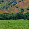 Highland Cattle, Glen Nevis, Scotland