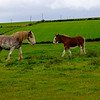 Clydesdale Horses, Isle of Bute, Scotland