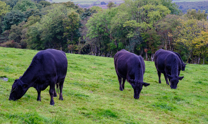 Cattle Grazing, Isle of Bute, Scotland