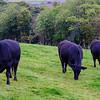 Cattle Grazing, Isle of Bute, Scotland