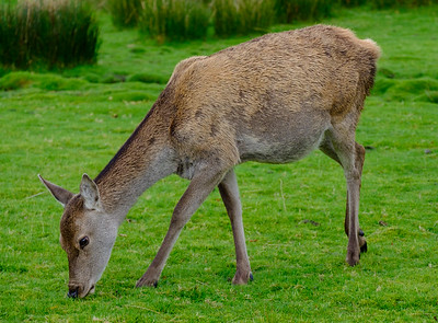 Red Deer Doe, Torridon, Scotland
