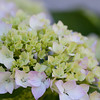 Hydrangea from Jessa's backyard.