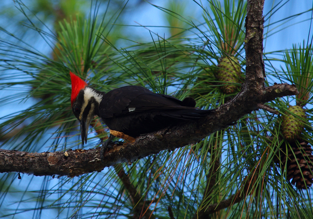 Pileated Woodpecker Everglades National Park, South Florida