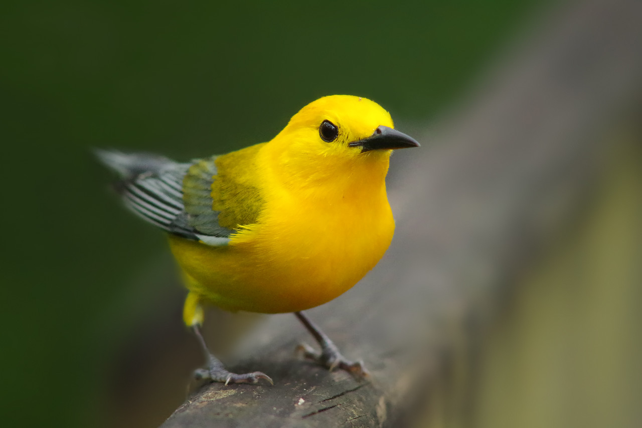 Prothonotary Warbler Lettuce Lake Park Tampa, FL (featured on the allaboutbirds.org -Cornell Lab of Ornithology-home page during the first week of May 2015)