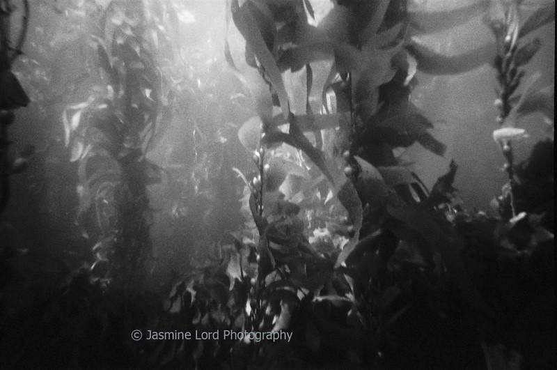 Kelp Forrest 3
